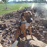 Adopt A Pet :: Daryl - Las Vegas, NV