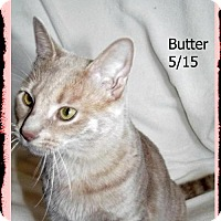 Adopt A Pet :: Butter - Plain City, OH