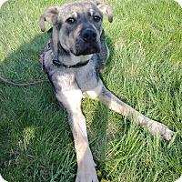 Adopt A Pet :: TITAN Puppy - Pompton lakes, NJ
