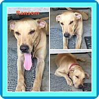 Adopt A Pet :: RANSOM - Malvern, AR