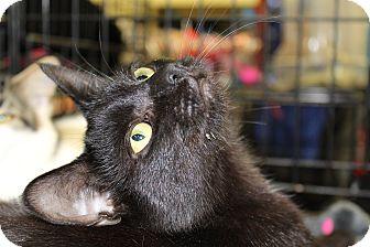 Domestic Shorthair Kitten for adoption in Berkeley Hts, New Jersey - Binx