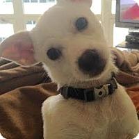 Adopt A Pet :: Conrad-I'm an Adoption Center Dog! - Chicago, IL
