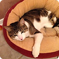 Domestic Shorthair Cat for adoption in Libertyville, Illinois - Fallon