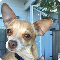 Adopt A Pet :: Butterscotch Pudding - San Francisco, CA