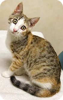 Calico Kitten for adoption in Montclair, New Jersey - Molly