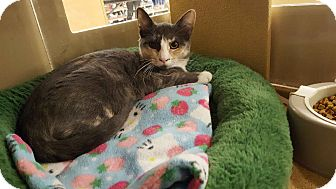 Calico Cat for adoption in El Cajon, California - Polly (Polydactyl)