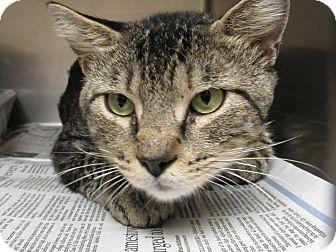 Domestic Shorthair Cat for adoption in Windsor, Virginia - Domino