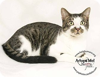 American Shorthair Cat for adoption in Belton, Missouri - Myles