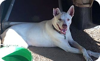 Shepherd (Unknown Type) Mix Dog for adoption in Natchitoches, Louisiana - Vic