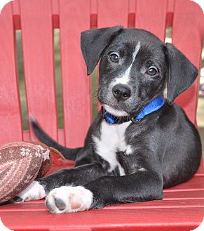 Labrador Retriever/Border Collie Mix Puppy for adoption in Bedminster, New Jersey - Ebony