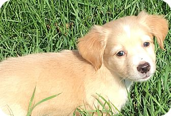 Sheltie, Shetland Sheepdog/Spaniel (Unknown Type) Mix Puppy for adoption in Pennigton, New Jersey - Windy