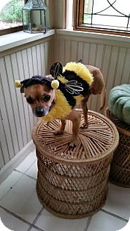 Chihuahua Dog for adoption in Mukwonago, Wisconsin - Austin
