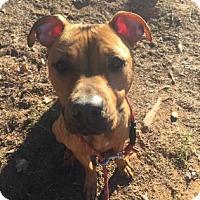Adopt A Pet :: Taylor - Greensboro, NC