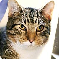 Domestic Shorthair Kitten for adoption in Appleton, Wisconsin - Gordon
