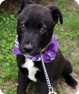 Border Collie/Labrador Retriever Mix Puppy for adoption in Charlemont, Massachusetts - Peyton