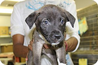 Labrador Retriever/Shepherd (Unknown Type) Mix Puppy for adoption in Waldorf, Maryland - Max