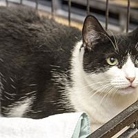 Domestic Shorthair Cat for adoption in Bronx, New York - Oreo