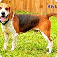 Adopt A Pet :: Bagel - Sebastian, FL