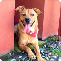 Labrador Retriever/Shepherd (Unknown Type) Mix Dog for adoption in Los Angeles, California - Handsome Chester-VIDEO