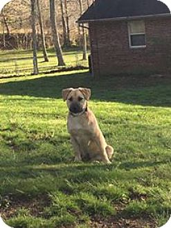 German Shepherd Dog/Labrador Retriever Mix Dog for adoption in Hartford, Kentucky - Thunder