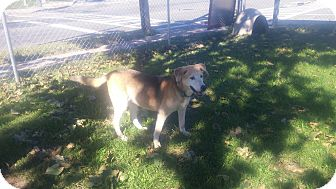 Labrador Retriever/German Shepherd Dog Mix Dog for adoption in New Windsor, New York - SANDY