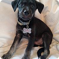 Adopt A Pet :: Ponyboy - Detroit, MI