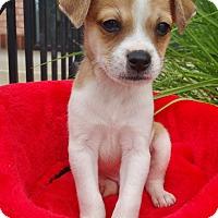 Adopt A Pet :: Huey - Bridgeton, MO
