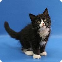 Adopt A Pet :: Annabel - Overland Park, KS