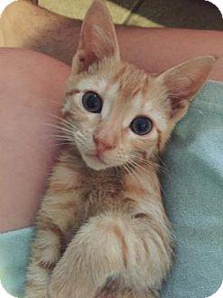 Domestic Shorthair Kitten for adoption in New Orleans, Louisiana - Kate