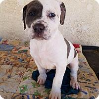 Adopt A Pet :: Mercedes - HESPERIA, CA