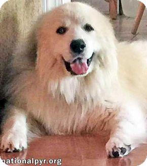 Great Pyrenees Dog for adoption in Beacon, New York - Kaizen - pending