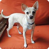 Adopt A Pet :: Carmen  2 Years - C/S & Denver Metro, CO
