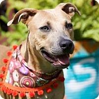 Labrador Retriever/Weimaraner Mix Dog for adoption in Portland, Oregon - Gilligan