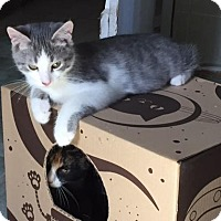 Domestic Mediumhair Kitten for adoption in Spencer, New York - Victor