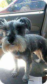 Schnauzer (Miniature) Dog for adoption in Columbus, Ohio - Petra