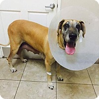 Great Dane Dog for adoption in Newport Beach, California - Lizzie