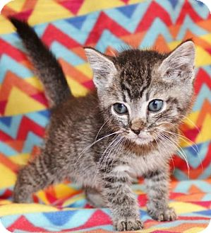 Domestic Shorthair Kitten for adoption in Hillsdale, Indiana - Catlin