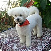 Bichon Frise Dog for adoption in Mississauga, Ontario - Theo