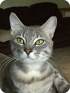 Domestic Shorthair Cat for adoption in Marlton, New Jersey - Buddy