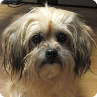 Shih Tzu Mix Dog for adoption in Mount Airy, North Carolina - Ariel