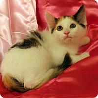 Domestic Longhair Kitten for adoption in St. Louis, Missouri - June