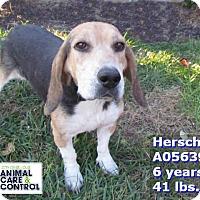 Adopt A Pet :: Herschel - St. Louis, MO