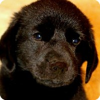 Adopt A Pet :: NICHOLAS(GORGEOUS LAB PUPPY!! - Wakefield, RI