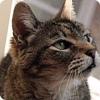 Adopt A Pet :: Ozzie Ozborne - Fenton, MO