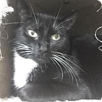 Domestic Shorthair Cat for adoption in Warrenton, Missouri - Siren