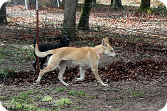 Carolina Dog Mix Dog for adoption in Flower Mound, Texas - Maya