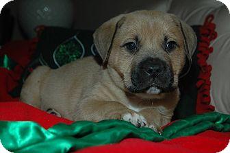 Boxer/Mastiff Mix Puppy for adoption in MINNETONKA, Minnesota - RUFUS