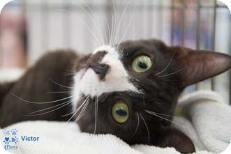 Domestic Shorthair Kitten for adoption in Merrifield, Virginia - Victor