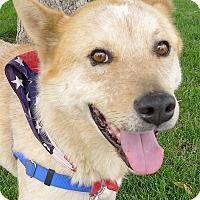Adopt A Pet :: Teddy Bear companion - Sacramento, CA