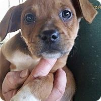 Adopt A Pet :: Eliza - Gainesville, FL